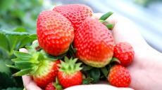 안동딸기 러시아 블라디보스토크에 첫 수출...3월까지 매주 1t 수출