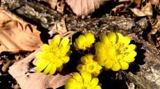 소백산국립공원 에 봄소식 전하는 야생화 활짝
