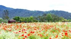 국가명승 예천 회룡포는 봄꽃세상... 꽃양귀비, 안개초 백일홍 활짝