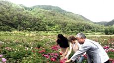 [헤럴드 포토]안동 인계리 청구마을 들녘에 작약꽃 활짝