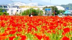 김천 율곡동 꽃양귀비 동산에서 힐링하세요