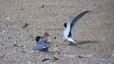 안동 찾아온 멸종위기 쇠제비갈매기 안동호 인공모래섬에 새끼 부화