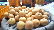 추석명절용 사과·배 이렇게 관리하세요...김천시 과일 수확후 관리요령 제시