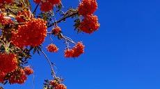 가을성큼...추분 앞둔 섬마을 마가목 붉게 물들다.