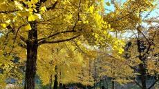천년사찰 소백산 부석사의 가을...노란 물감 속에 빠지다.