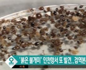 평택항서 붉은불개미 발견… '살인 개미' '위협은 과장' 진실은?