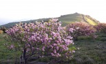 연분홍 물결 넘실.....영주 소백산철쭉제 25일 열려