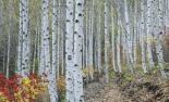 '영양 자작나무숲' 관광명소 된다