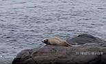 설날 울릉도서 일제가 멸종시킨 독도 바다사자 출현 ...좋은 일 있으려나.