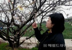 [포토뉴스]울릉도 사동(중령)마을 '매화꽃 만발'