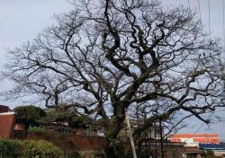김해시, 천연기념물 이팝나무 유전자원 보존한다