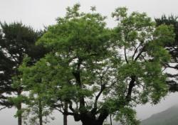 [골프상식백과사전 60회] 골프장에 선 한 그루 나무