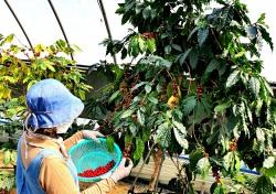 커피열매가 붉은색?.....상주서 붉은 커피 첫 시험 재배성공