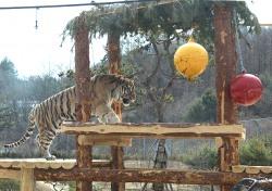 봉화 백두대간 수목원서 백두산 호랑이 다시 만난다...내달1일 '호랑이 숲' 재개장