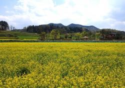 국가명승 예천군 회룡포 노란 유채꽃 물결 넘실...경관보전 직불제 지원 농가소득 도움