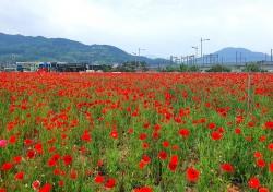김천 KTX역 부근 꽃양귀비 동산에서 힐링하세요...꽃양귀비 붉은 물결 넘실