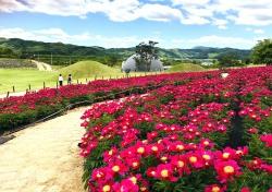 의성 조문국 사적지에 우아한 작약꽃, 5월을 수놓다