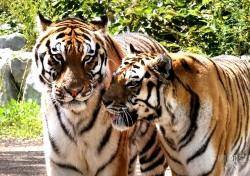 더위에 지친 백두산 호랑이 특식제공…국립백두대간수목원, 국제호랑이의 날 맞아 다양한 행사 진행