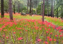 천년고찰 김천 직지사에 꽃무릇 활짝... '붉은 융단' 깔아 놓은 듯