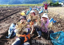 영주 풍기인삼 수확 바쁘다 바빠 …5~6년근 수삼가격 하락