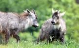 Bringing back endangered gorals