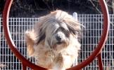 Sapsaree, beloved Korean native breed of dogs