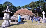 Silver grass waving on royal tomb of King Taejo