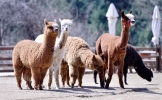 Befriend fluffy alpacas in Gangwon Province