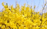 Let's enjoy yellow forsythia blossoms from afar