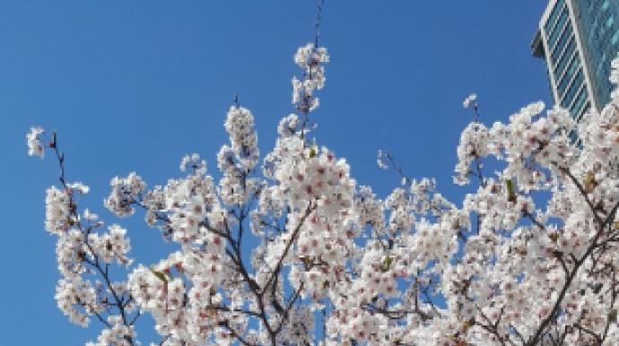 [단독] 주말 여의도 벚꽃길 열린다…상춘...