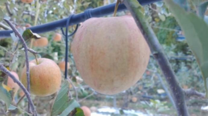 ②'기후 폭탄'의 시작…하얀 사과가 온다...