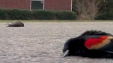 새떼 죽음, 지구멸망 징조?