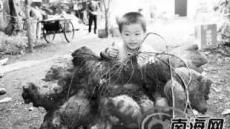 42kg 중국 '왕 고구마' 화제