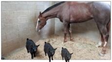 '馬의 파트너' 염소가 사라졌다