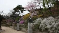 올 궁궐 봄꽃 이틀 빨리 핀다...창덕궁 17일부터 개화