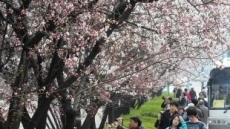 <포토뉴스>벚꽃 보러오세요