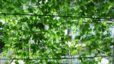 日 식물로 만든 '녹색커튼'으로 여름 난다