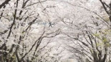 주말 비 소식…봄비에 벚꽃은 지고