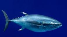 태평양 참다랑어 멸종위기…일본식탁 비상