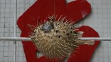 복어 맛보기 힘들어진다…日 남획에 멸종위기