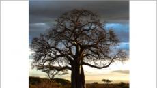 젊고 어린 피부의 비밀? '바오밥(baobab)'에서 찾다
