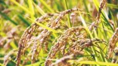 """""""쌀 소비를 늘려라"""" 日정부 안간힘"""