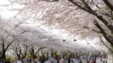 서울 거리서 꽃비 언제쯤 내릴까요?