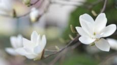 세월호의 위로 '목련꽃'의 비밀