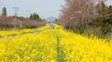 제주 가시리 유채길, 군항제 옆마을 벚꽃길 일품