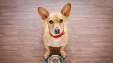 [반려견과 해피동거] 식사 후 애절한 눈빛 쏘는 우리 강아지, 더 줘도 될까?