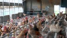 계란 이어 닭에서도 '최악의 살충제' DDT 검출…경산ㆍ영천 산란계 농장