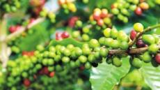 커피 1잔+원두 50g에 17만원세계서 가장 비싼 '신의 커피'파나마 '게이샤'두바이 등장