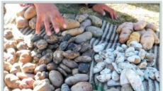 [지구의 역습, 식탁의 배신 ①감자] 다양성의 씨 퍼뜨리는 '잉카의 후예'