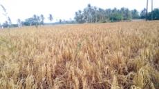 '동남아 최대 곡창'메콩강 농지가 사라진다